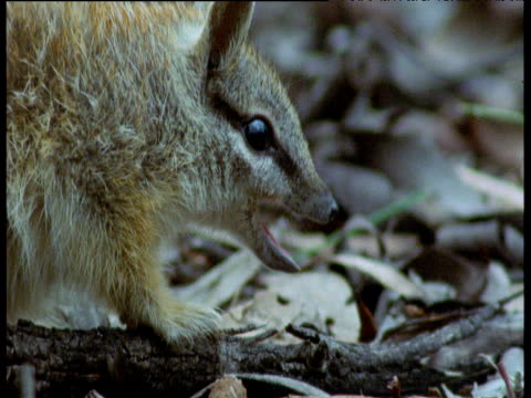 Numbat sticks tongue out to coat it with sticky saliva whilst eating ants, New South Wales