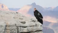 A numbered tag and radio transmitter hangs from the wing of a female California Condor at Grand Canyon National Park in Grand Canyon Arizona US on...