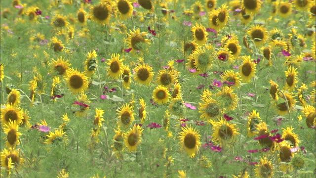 Numerous sunflowers