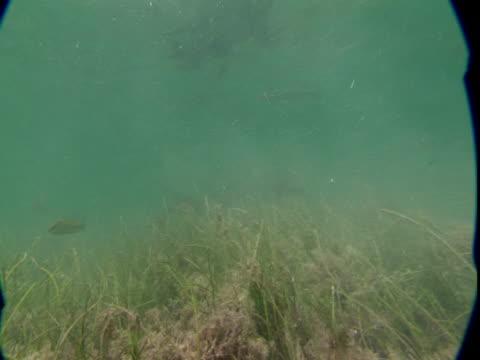 A nurse shark glides across a weedy seabed.