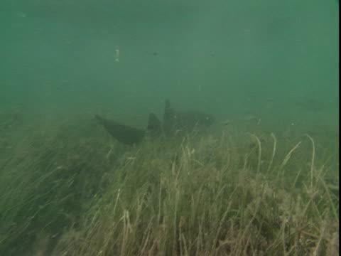 A nurse shark swims over seaweed.