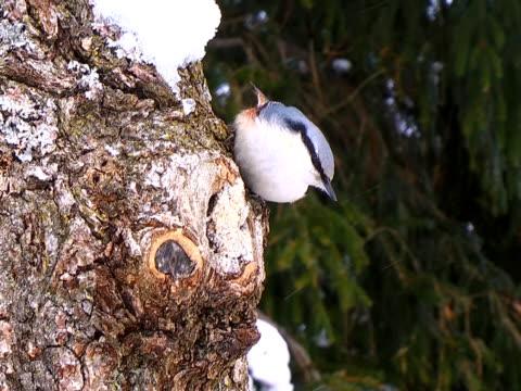 Nuthatch on Oak Tree