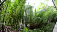 Nypa fruticans forest with sound