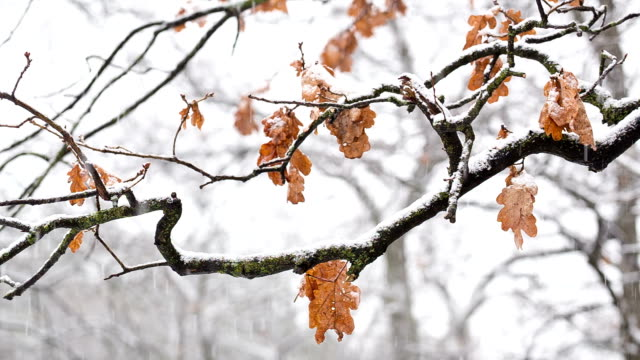 Oak branches with dry leaves during snowfall.