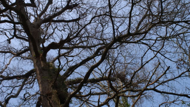 T/L Oak (Quercus sp.) tree against sky, Spring, United Kingdom (background for Celandine or Wood Anemone)