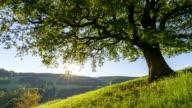 Oak tree in spring at sunrise, Odenwald, Hesse, Germany