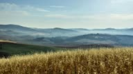 Oat field in the morning, Pienza, Siena Province, Val d'Orcia, Tuscany, Italy