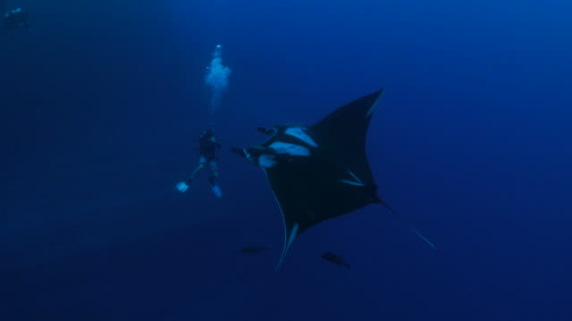 Oceanic Manta ray swimming around divers