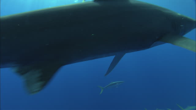 Oceanic whitetip shark (Carcharhinus longimanus) swims in ocean, Caribbean, Bahamas