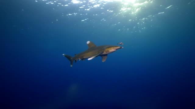 Oceanic Orangener Shark