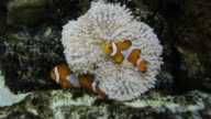 Ocellaris clownfish and sea anemone