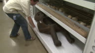 October 17 2008 WS Smithsonian Institution conservator pulling out storage tray displaying human sized Inca sculpture artifact / Washington DC United...