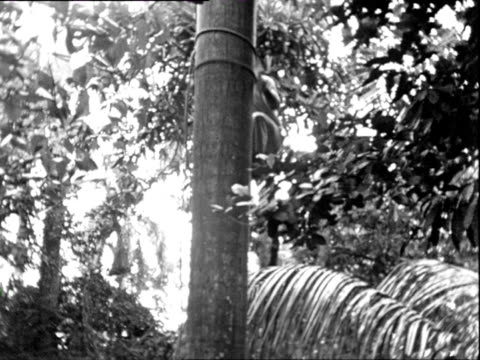 October 1936 B/W MONTAGE Man climbing coconut tree / Cuba