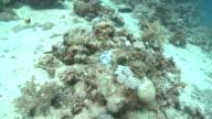 Octopus (unknown species) hides