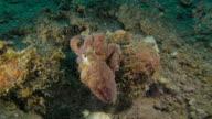 Bläckfisk jaga sitt byte, Indonesien (4K)
