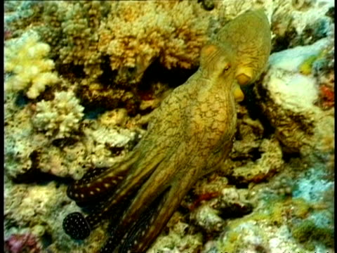 MCU Octopus trying to hide in coral, changing colour to blend in with surroundings