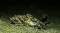 Octopus under water in Philippines