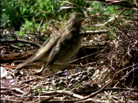 of Spotted Bowerbird, Chlamydera maculata, nest building, Australia; EDITED STORY, SPECIAL RATES APPLY