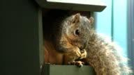 Oklahoma Squirrel