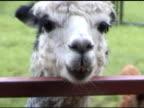 Old alpaca chewing - NTSC