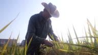 old man checking ripe rice in autumn under sun shine