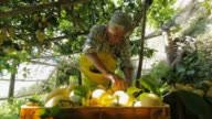Old Man collect the famous lemon of the Amalfitan Coast