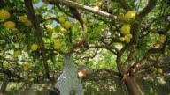Old Man collect the famous lemon of the Amalfitan Coast