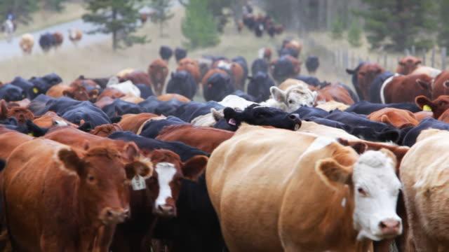 Old West Cattle Stampede