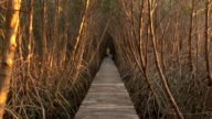 Old wood walkway through in mangrove forest