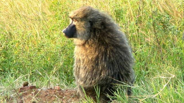 MS, Olive Baboon (Papio anubis) in tall grass, Masai Mara Game Reserve, Rift Valley, Kenya