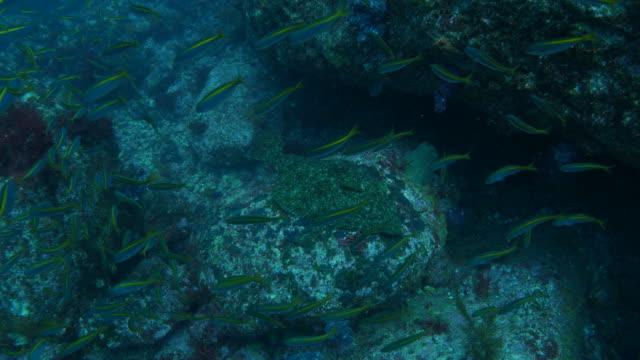 Olive flounder (Japanese halibut)
