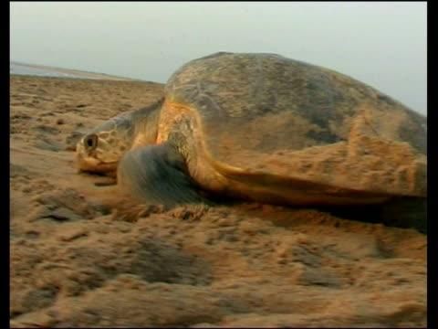 Olive Ridley Sea Turtle (Lepidochelys olivacea) returning to sea, having laid eggs, India