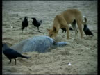 Olive Ridley Sea Turtles (Lepidochelys olivacea) laying eggs surrounded by crows and dog, India