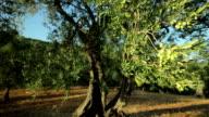 Olive Tree Branch  (Dolly Shot)