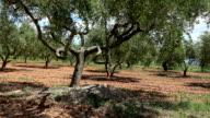 Olive trees field