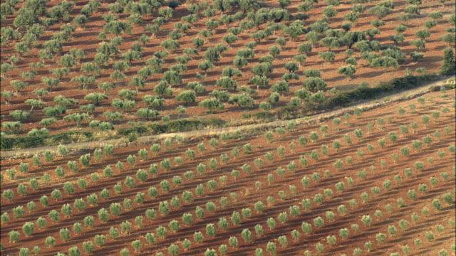 AERIAL WS Olive trees in red soil / Elvas, Portalegre, Portugal
