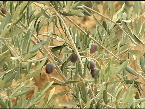 Olives on the Olive Tree