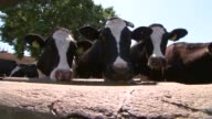 GVs Greek countryside GREECE Near Thessaloniki EXT Gvs Greek farm including tractor corral cows in corral / cows being inquisitive as up to camera /...