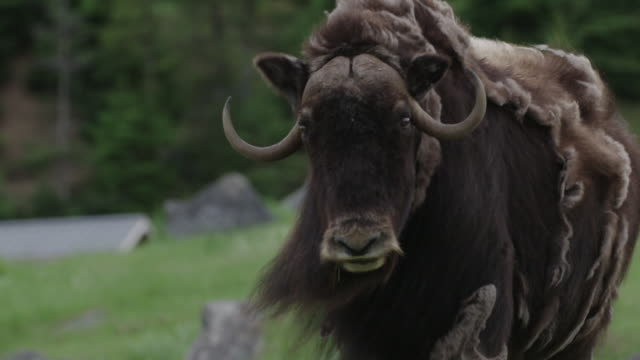 PAN on musk ox looking and walking away