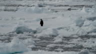 MS One Adélie penguin on ice, Antarctica