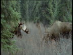 One antlered moose backs off then runs away from moose with two antlers, Alaska