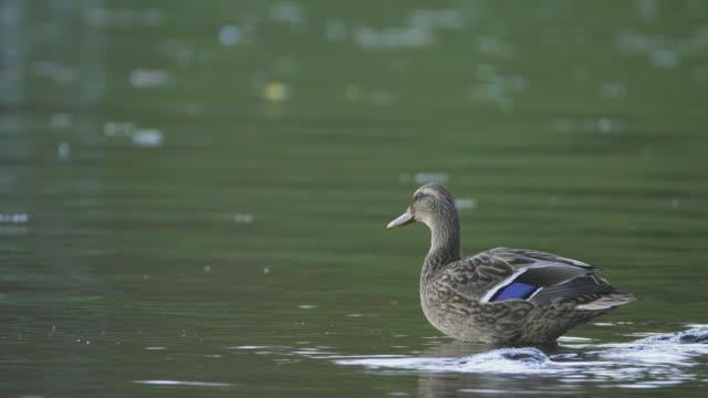 Een eend in een meer
