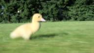 One duckling running on grass