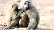 One eye blind Mother Baboon