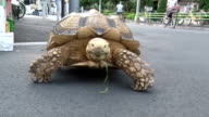 """One meterlong tortoise has become the quite hot topic recently around Tsukishima downtown of Tokyo popularly known as """"Monja Town"""" in Chuo ward for..."""