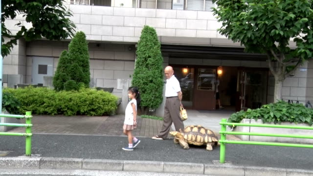 "One meterlong tortoise has become the quite hot topic recently around Tsukishima downtown of Tokyo popularly known as ""Monja Town"" in Chuo ward for..."