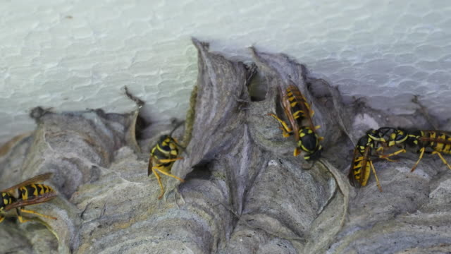 One Wasp feeds the other