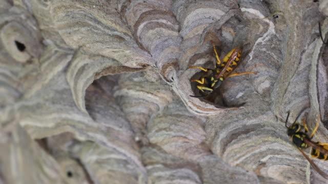 One Wasp nest building, turning around