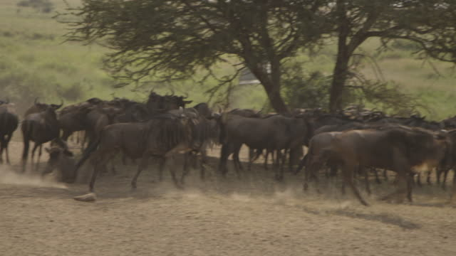 One wildebeest chases another away from a group sheltering under a tree, Tanzania.