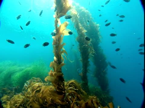 Opaleye fish forage around stalks of seaweed.